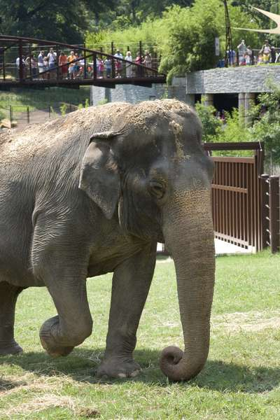 Asian elephant Shanthi with visitors (photo)