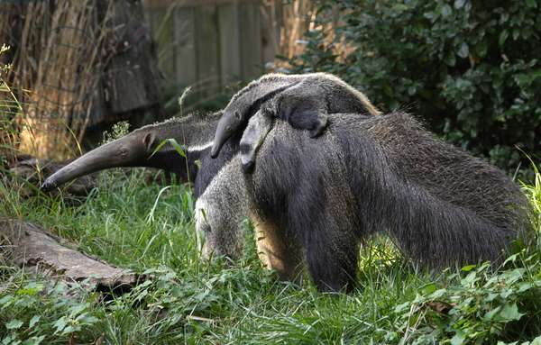 Mother giant anteater with pup (photo)