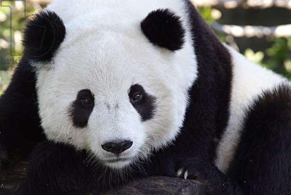 Tai Shan, the Smithsonian's National Zoo's first surviving panda cub (photo)