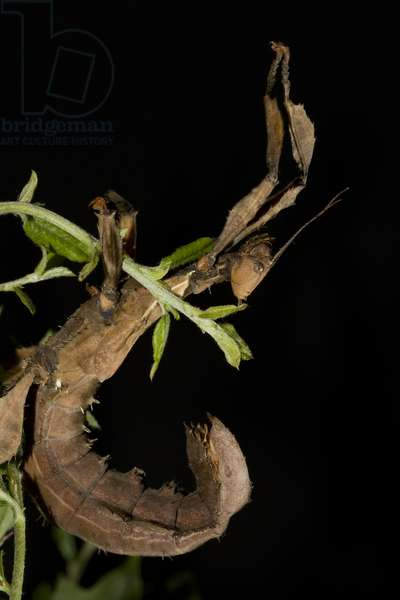 Australian stick insect (photo)