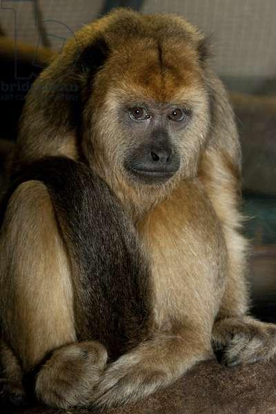 Howler monkey (photo)
