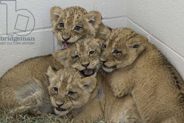 Lion cubs (photo)