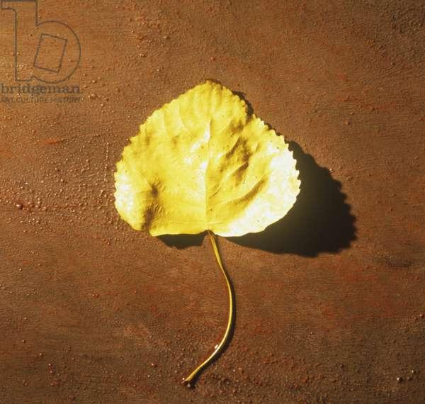 Yellow cottonwood tree leaf on ground
