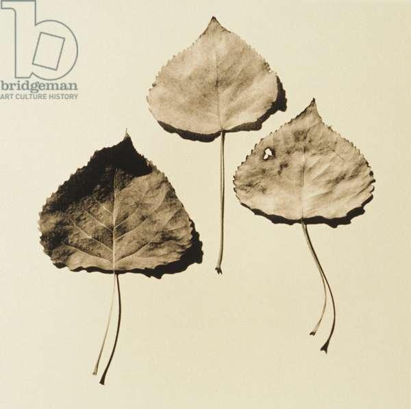 Three dried lime tree leaves