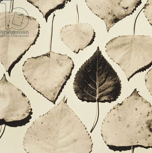 Cottonwood Tree leaves on white background