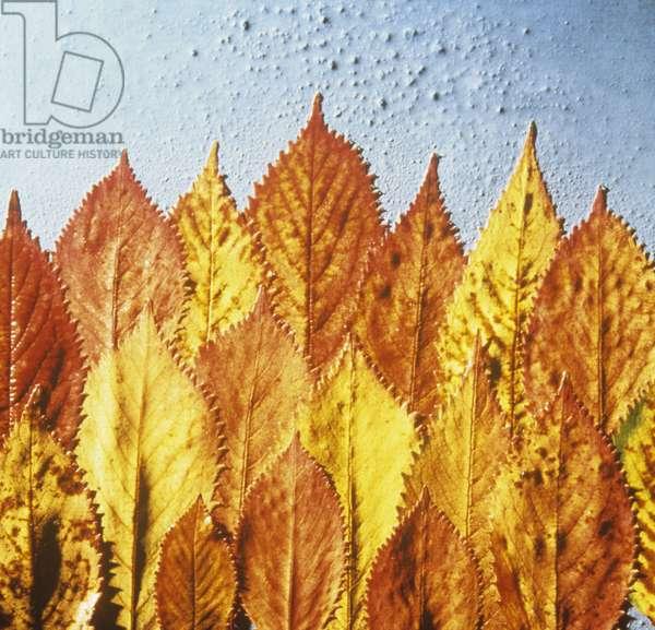 Yellow beech leaves