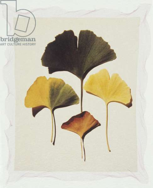 Four ginkgo leaves on white background
