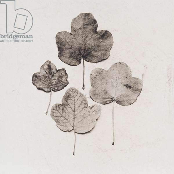 Four leaves on white background