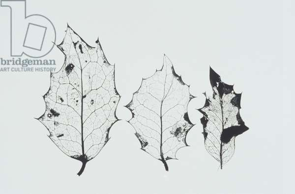 Three dried holly leaves