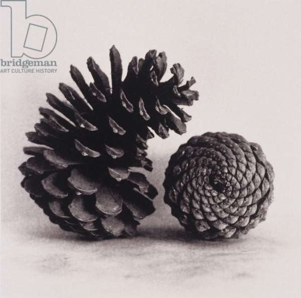 Two pine Cones,