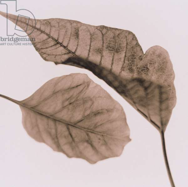 Two dried leaves,