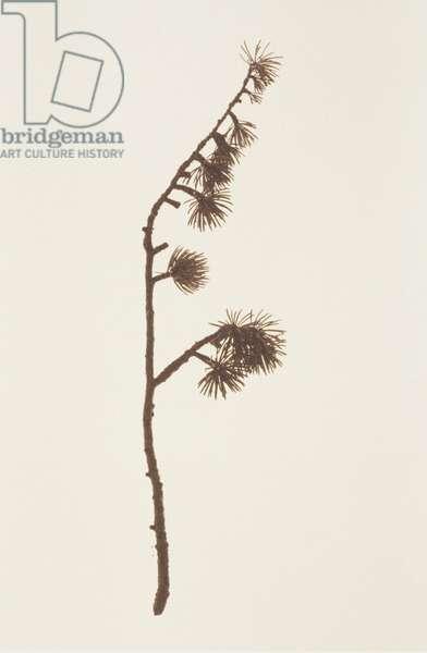 Single larch twig