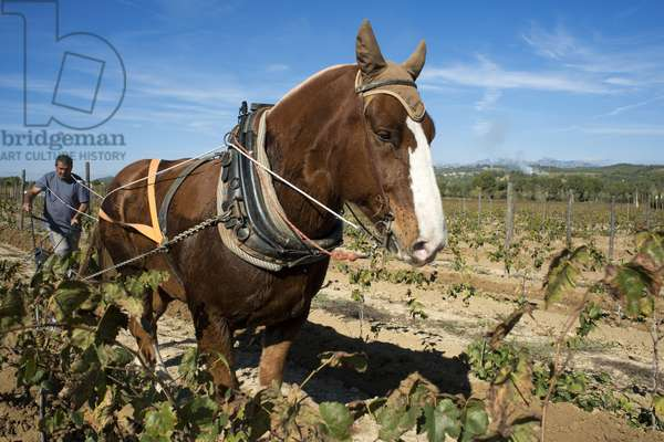 Animal traction in the vineyards, Vineyards of Raventos winery industry, Sant Sadurni d'Anoia, San Sadurni de Noya, Winery building, Catalonia Spain, Employs bru horses for work in the vineyard, horse ploighing, 2017 (photo)