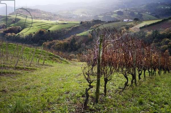 Talai Berri Txakolina vineyards in Zarauz, Txakoli liqueur wine production, Basque Country, Spain Europe, 2018 (photo)