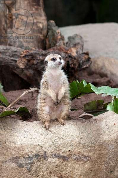 Meerkat, suricata suricatta, Singapore Zoo, Singapore (photo)