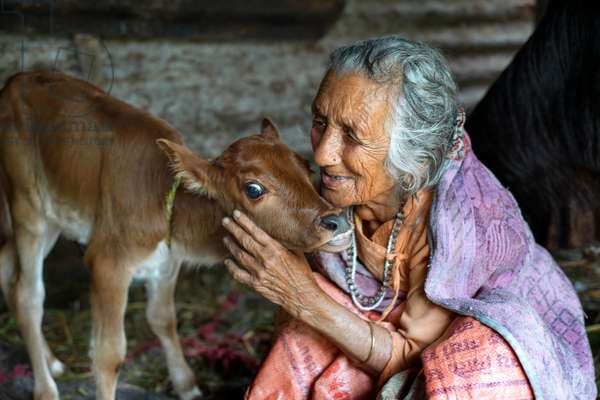 A woman taking care of his herd of cows, at the small village of Bungamati, Nepal (photo)