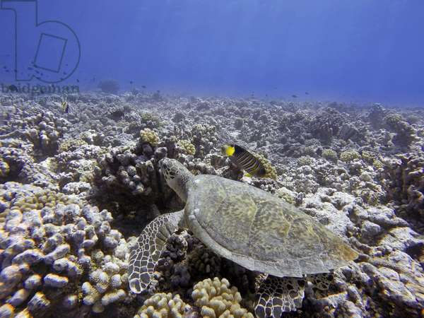 Swimming with green sea turtles and tropical fishes at the Bora Bora lagoon, Moorea, French Polynesia, Society Islands, South Pacific. Cook's Bay, 2018 (photo)
