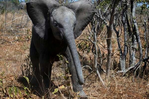 Elephant, Chobe National Park, Botswana (photo)