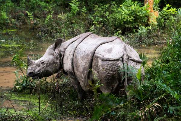 Indian or one-horned rhinoceros and tourists on elephant safari in Chitwan National Park, Nepal (photo)
