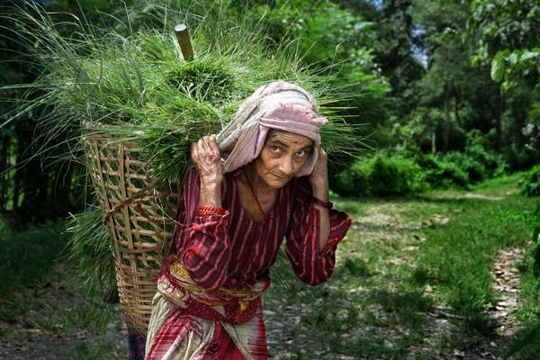Old Woman picking grass field in Chitwan National Park, Nepal (photo)