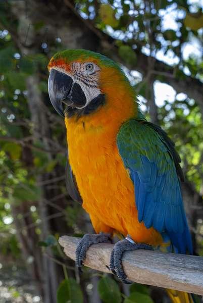 Bahamas, Grand Bahama Island, Freeport, Port Lucaya, macaw parrot. Blue and Gold Macaw, 2019 (photo)