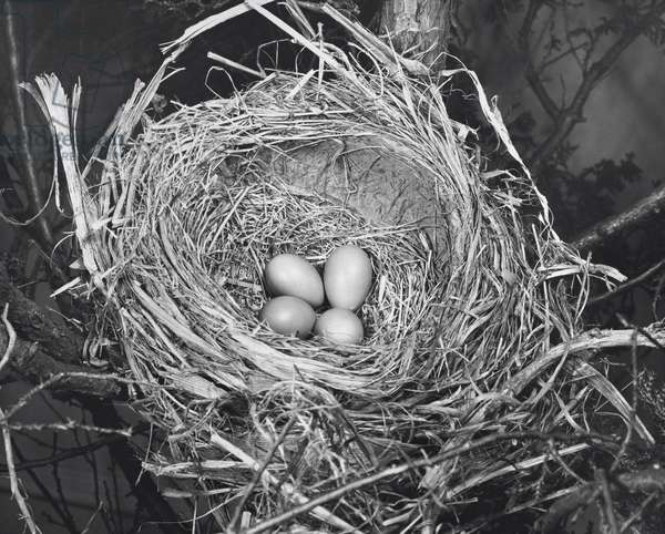 High angle view of four robin's eggs in a nest