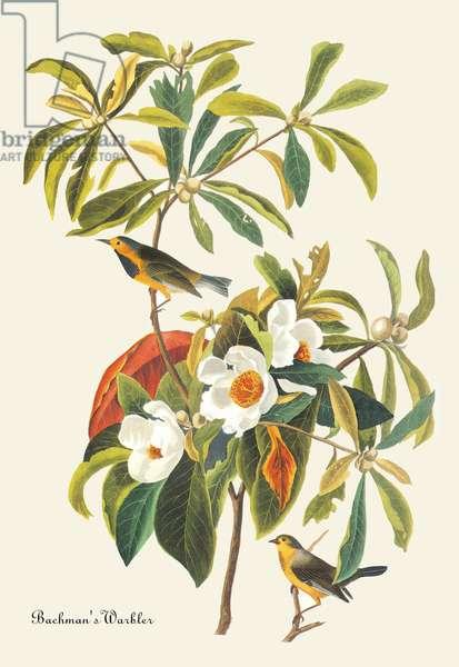 Bachman's Warbler (drawing)