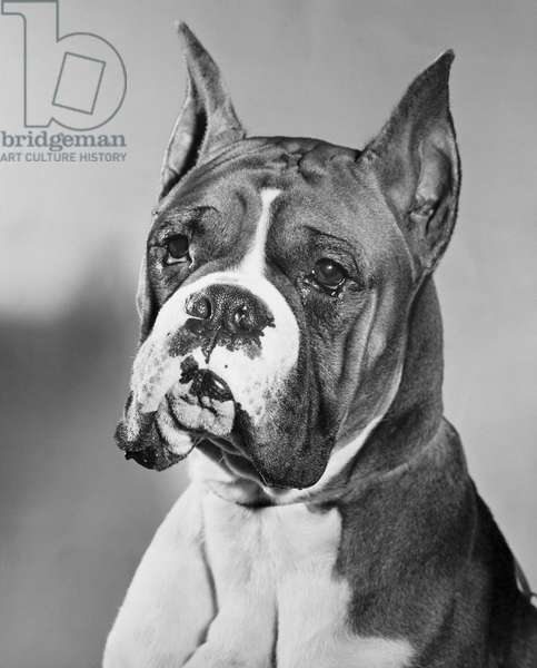 Close-up of a boxer