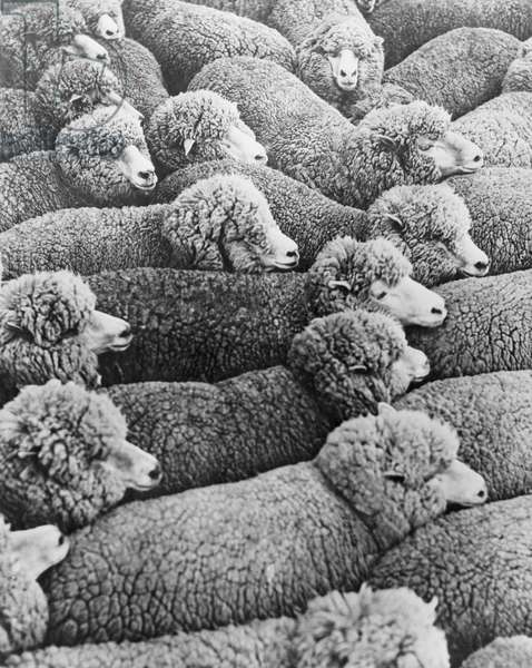 High angle view of a flock of sheep