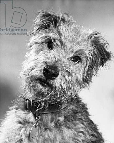 Close-up of a Welsh Terrier