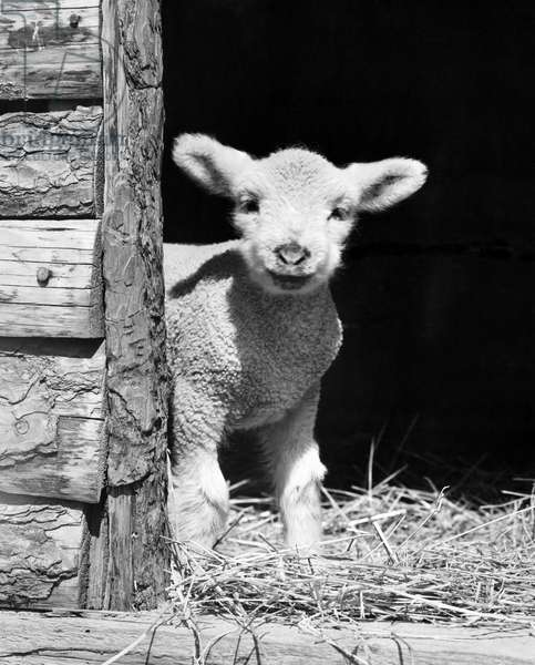 Lamb standing in a barn
