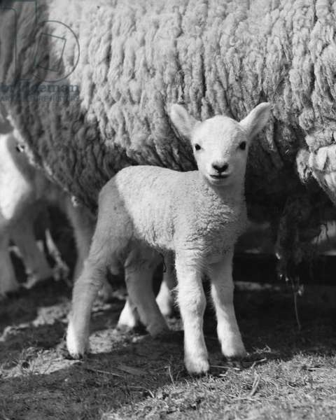 Lamb standing in front of a sheep