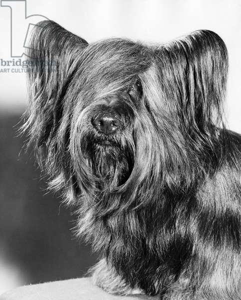 Close-up of a Skye Terrier
