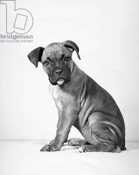 Boxer puppy sitting