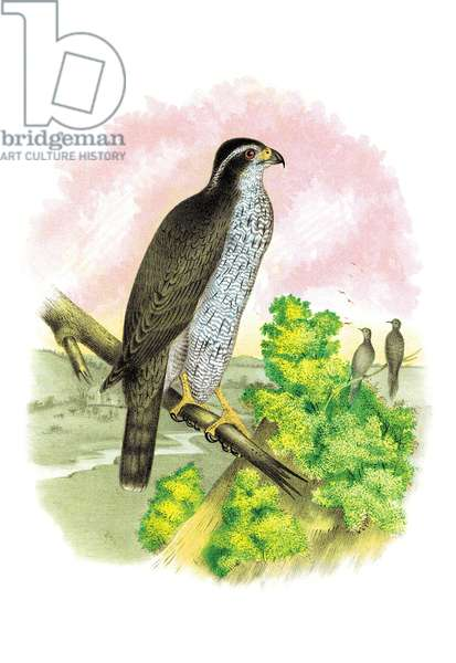 Ash-Colored or Black-Cap Hawk, Birds - Birds of Prey