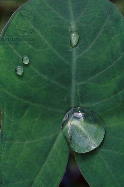 Ecuador, Amazon Basin, Rio Napo, Rainforest, Waterdrops On Leaf (photo)