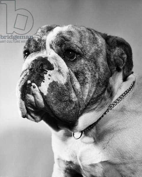 Close-up of an English Bulldog