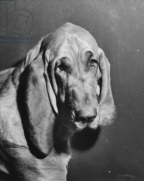 Close-up of a bloodhound