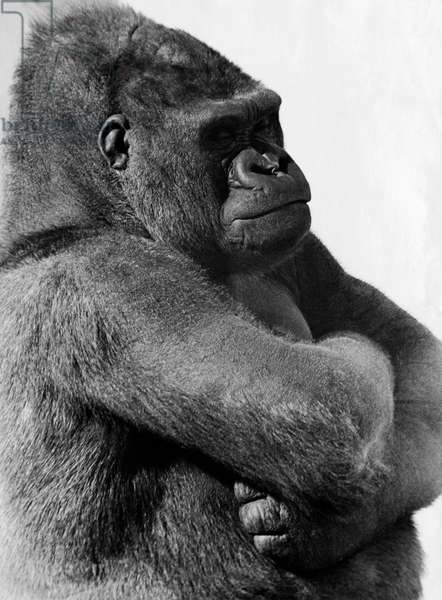 Close-up of a gorilla with its arms crossed