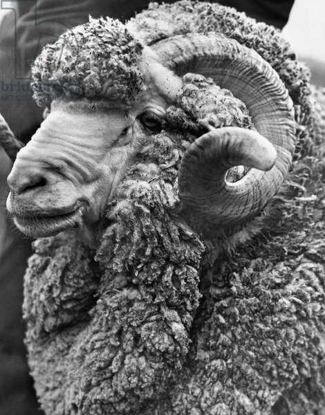 Close-up of a Merino Ram
