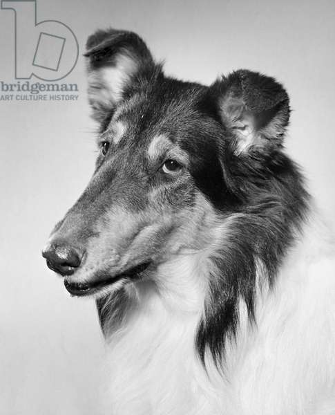 Close-up of a collie