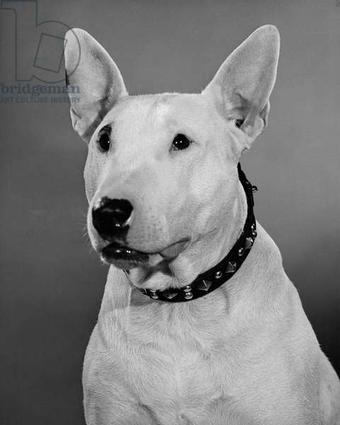 Close-up of a Bull Terrier