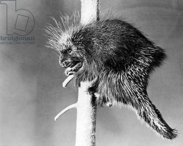 Porcupine perching on a branch (Erethison dorsatum)