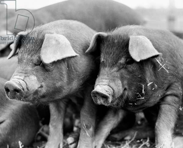 Close-up of two Duroc pigs