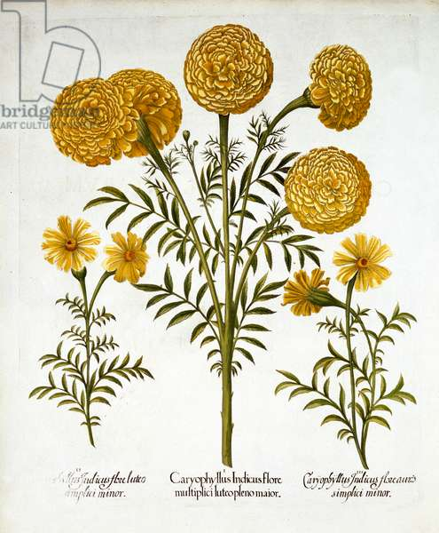 African Marigold and French Marigolds, from 'Hortus Eystettensis', by Basil Besler (1561-1629), pub. 1613 (hand-coloured engraving)