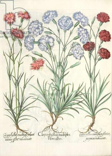 Carnations: 1.Caryophyllus multiplex flore albo; 2.Caryophyllus multiplex laciniosus flore incarnato; 3.Caryophyllus multiplex flore purpureo rubescente, from the 'Hortus Eystettensis' by Basil Besler (1561-1629), pub. 1613 (engraving)