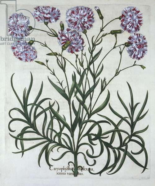 Carnation, from 'Hortus Eystettensis', by Basil Besler (1561-1629), pub. 1613 (hand-coloured engraving)