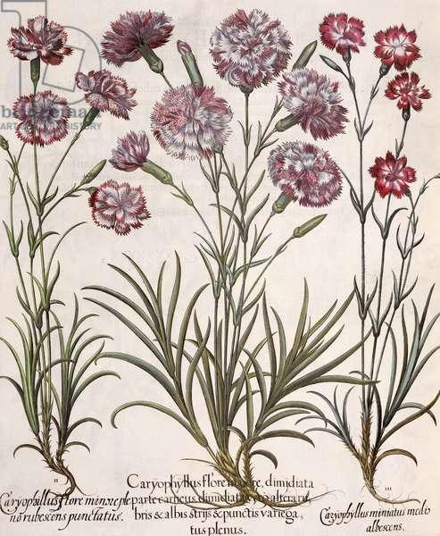 Carnations: 1.Caryophyllus flore majore; 2. Caryophyllus flore minor pleno rubescens punctatus; 3.Caryophyllus miniatus medis albescens, from the 'Hortus Eystettensis' by Basil Besler (1561-1629), pub. 1613 (engraving)