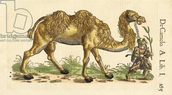 Bactrian Camel from Historiae Animalium, by Conrad Gessner (1516 - 1565), c. 1551-58 (hand coloured woodcut)