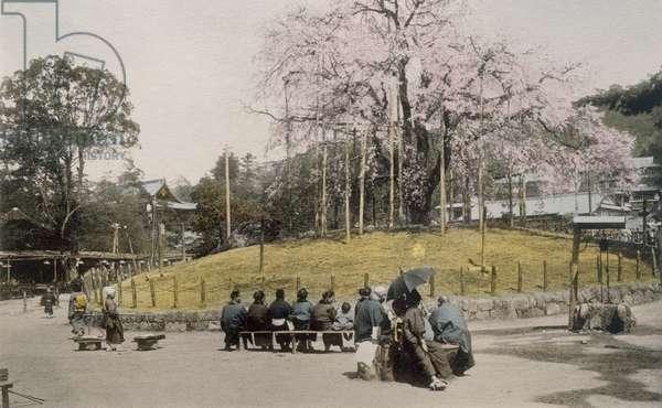 The famous cherry tree at Maruyama, Kyoto (hand coloured photo)